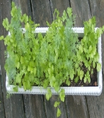 Click to see full image of June 2008 Herb Garden